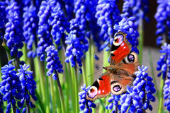 Red Admiral on Grape Hyacinth Royalty Free Stock Photos