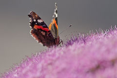 Red admiral. Handsome butterfly (Red Admiral) on purple flowers Royalty Free Stock Photography