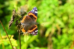 The red admiral is identified by its striking black, orange, and white wing pattern. On the dorsal side, its dark wings possess orange bands on the middle of royalty free stock images