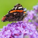 265/365 - Red Admiral Stock Images