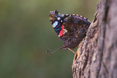 The red admiral in natural habitat Royalty Free Stock Image