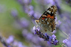 Red Admiral On Lavender Stock Image