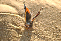 Red Admiral Stock Image