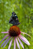 Red Admiral on Purple Coneflower Stock Photos