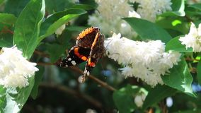 Red admiral. Butterfly on a white flower stock footage