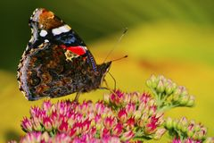 Red admiral from the side Stock Photos