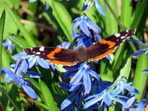 Thornhill Red Admiral 2017 Royalty Free Stock Photos