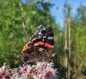Red Admiral in sunny ambiance Royalty Free Stock Photography