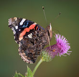Red Admiral on thistle Stock Photo