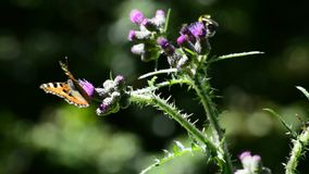 Red admiral on thistle stock video