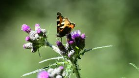 Red admiral on thistle. Butterfly of Germany stock footage