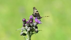 Red admiral on thistle. Butterfly of Germany stock video footage