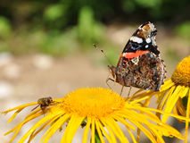 Red Admiral, Vanessa atalanta Royalty Free Stock Photography