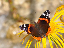 Red Admiral, Vanessa atalanta Royalty Free Stock Photos