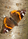 Red Admiral / Vanessa atalanta Royalty Free Stock Image