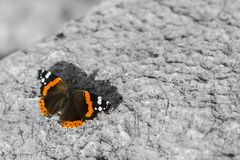 Red admiral, Vanessa atalanta, Red admirable on a stone. colourful batterfly and black and white background, copy space. beauty royalty free stock photos
