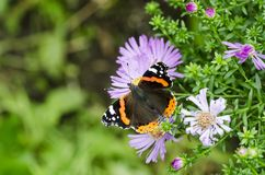 The red admiral Royalty Free Stock Photo