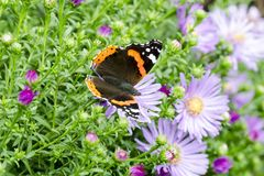 The red admiral Stock Photography