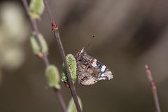 Red admiral (Vanessa atalanta). Red admiral (butterfly) on catkins on a willow Royalty Free Stock Photos
