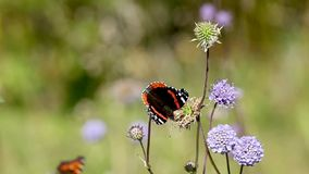 Red Admiral (Vanessa atalanta). Butterfly Red Admiral (Vanessa atalanta) collecting nectar on field flower stock video footage