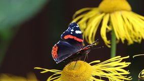 Red Admiral (Vanessa atalanta) butterfly collects nectar on the Elecampane flower stock video footage