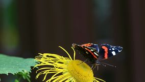 Red Admiral (Vanessa atalanta) butterfly collects nectar on the Elecampane flower stock video