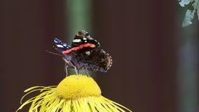 Red Admiral (Vanessa atalanta) butterfly collects nectar on the Elecampane flower stock footage