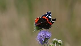 Red Admiral (Vanessa atalanta) butterfly collects nectar on the flower stock video