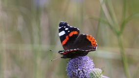 Red Admiral (Vanessa atalanta) butterfly collects nectar on the flower stock video footage