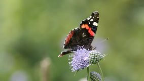 Red Admiral (Vanessa atalanta) butterfly collects nectar on the flower. (1080p; 30 fps stock video