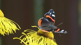 Red Admiral (Vanessa atalanta) butterfly collects nectar on the flowers Elecampane. (1080p; 30 fps stock video
