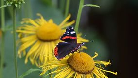 Red Admiral (Vanessa atalanta) butterfly collects nectar on the flowers Elecampane stock video footage
