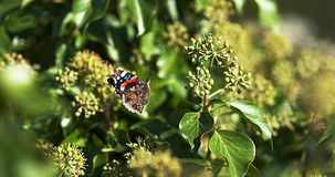 Red admiral, vanessa atalanta, Butterfly in flight, Taking off from Ivy, Hedera helix,. Slow Motion 4K stock footage