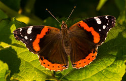 Red Admiral - Vanessa atalanta Royalty Free Stock Image