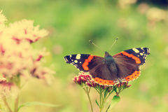 Red Admiral, Vanessa atalanta Royalty Free Stock Images