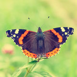 Red Admiral, Vanessa atalanta Stock Photography