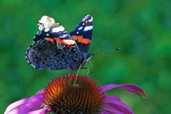 Red admiral Royalty Free Stock Photography