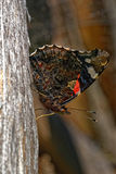 Red admiral Royalty Free Stock Photos