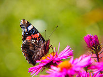 Red admiral (Vanessa atalanta, Pyrameis atalanta) (4). Red admiral Royalty Free Stock Images