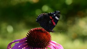 Red Admiral (Vanessa atalanta), a well-known colourful butterfly. Red Admiral (Vanessa atalanta) feeding on a Rudbeckia flower stock footage