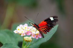 Red admiral & x28;Vanessa atalanta& x29; Royalty Free Stock Images
