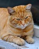 Red adult cat lies on a windowsill Stock Photo
