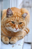 Red adult cat lies on a windowsill Royalty Free Stock Photography