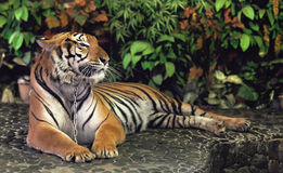 Red adult tiger Royalty Free Stock Images