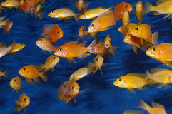 Red african Cichlids Firefish stock images