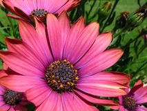 Red African Daisy. This flower is a red African Daisy also known as Osteospermum Stock Images