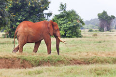 Red African Elephant in Kenya. A red dirty African Elephant in Tsavo East National Park in Kenya Stock Image
