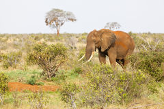 Red African Elephant in Kenya Royalty Free Stock Photography