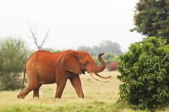 Red African Elephant in Kenya Royalty Free Stock Images