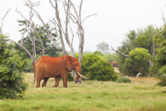 Red African Elephant in Kenya Royalty Free Stock Photo